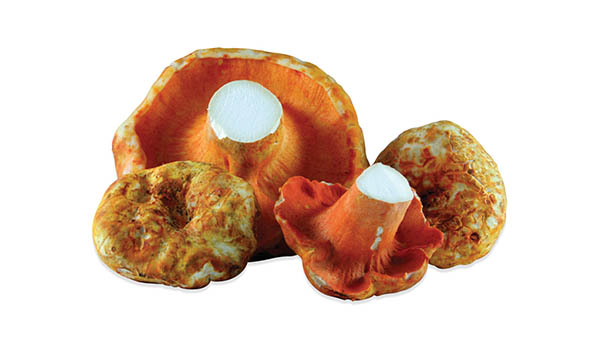 Fresh Wild Lobster Mushrooms