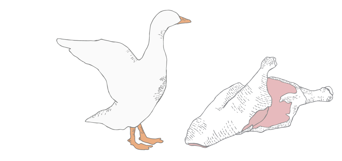 pekin duck illustration